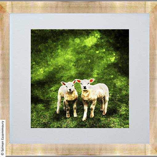 Lammetjes - Texel